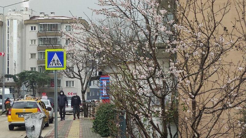 Bursa'da ağaçlar yalancı bahara aldanıp çiçek açtı