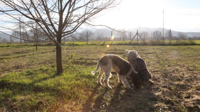 Gizemli mantarı yalnızca eğitimli köpekler buluyor