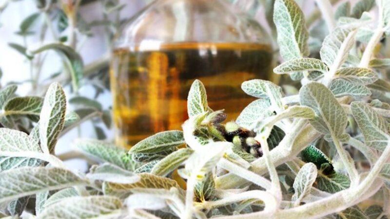 Bu bitki koronavirüsü ciğerlere inmeden yok ediyor!