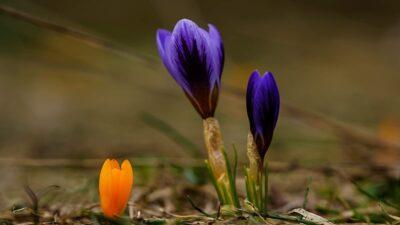 Bursa'da baharın müjdecisi kardelenler çiçek açtı