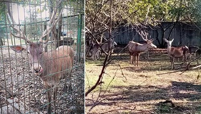 Hayvanat bahçesinden geyik kaçırıp yemişler
