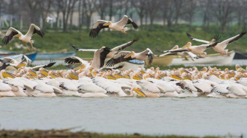 Bursa'da ak pelikanların göçü bu yıl da görüntülendi