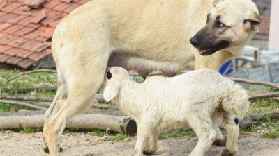 Bursa'da çoban köpeği, kuzuya süt annelik yapıyor