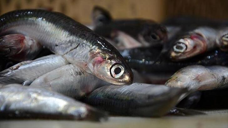 Balıkçılar et verimliliği açısından hamsiden umduğunu bulamadı