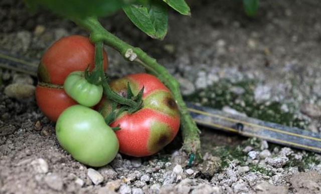 Hızla yayılıyor! Bu domatesin koronası
