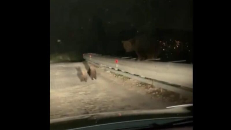 Bursa'da aç kalan ayılar köy yoluna indi