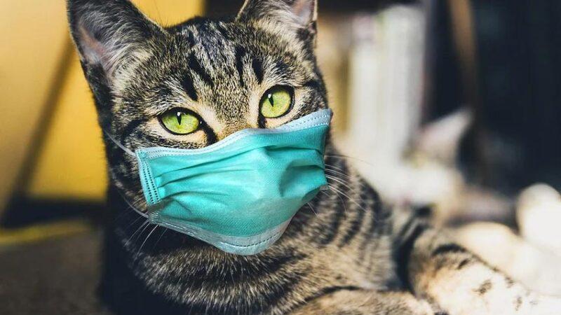 Evcil kediye sahibinden koronavirüs bulaştı!