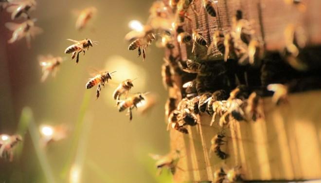 Bilim insanları arılara koronavirüsü koklamayı öğretti: Saniyeler içinde tespit ediyorlar