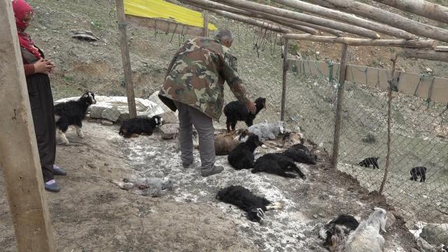 Ağıla giren köpekler 20 keçiyi telef etti