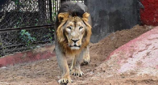 Hayvanat bahçesindeki 8 aslan koronavirüse yakalandı
