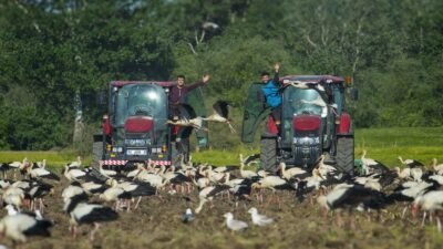 Bursa'da leylekler beslendi, çiftçiler işlerini bırakıp seyretti