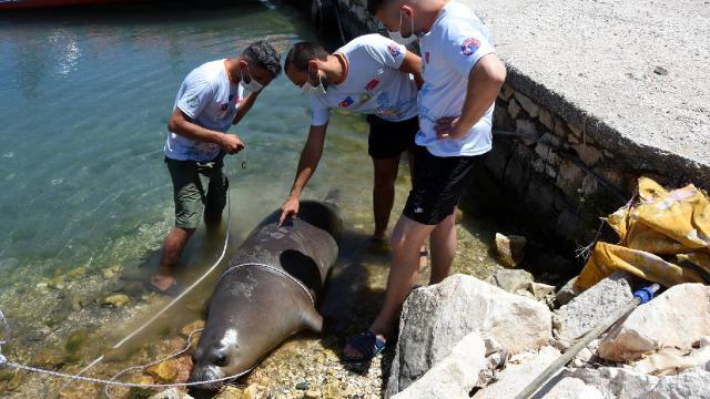 Antalya'da 2 metrelik ölü Akdeniz foku kıyıya vurdu