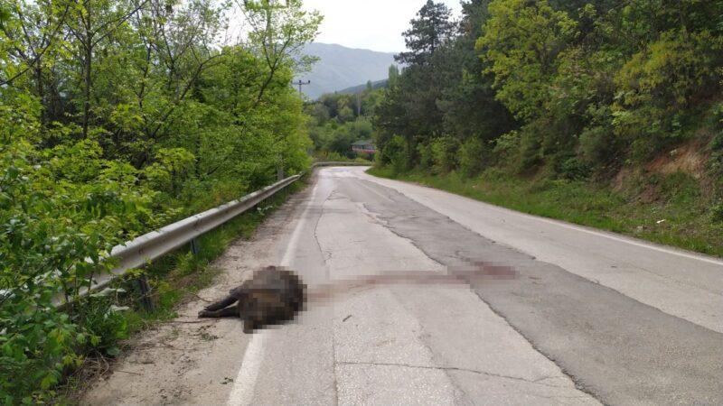 Uludağ yolunda devasa domuz şok etti
