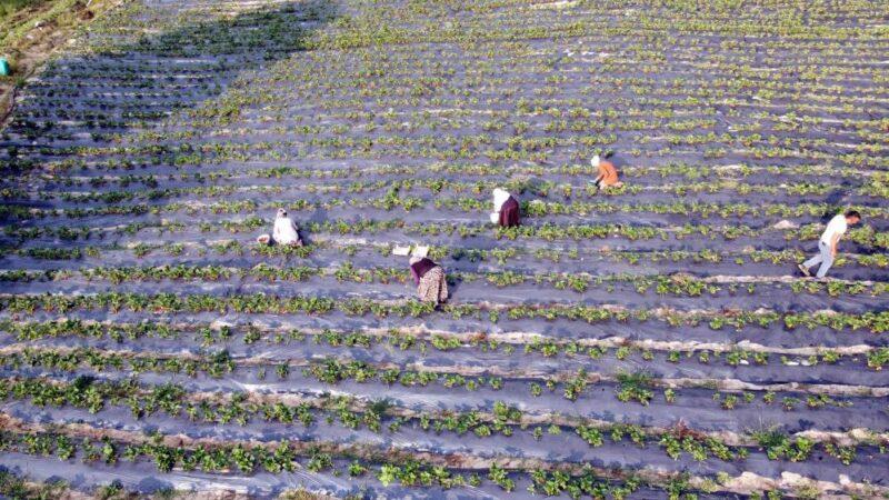 Dağ ilçelerinde imeceyle çilek hasadı başladı