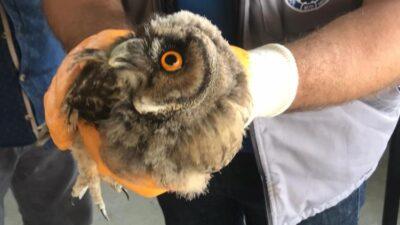 Bu hayvan Bursa'da bulundu! Ölmek üzereydi…