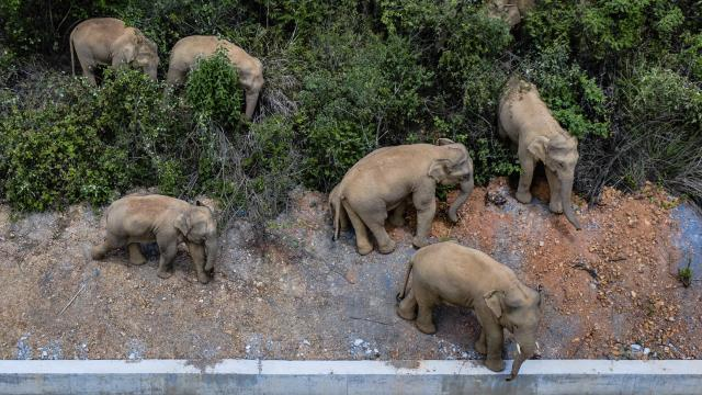 Fil sürüsü şehre yaklaştı, yollar kapatıldı