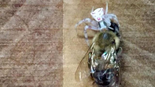 Arıları yakalayıp yiyor! İnsan yüzlü örümcek Türkiye'de bir kez daha ortaya çıktı