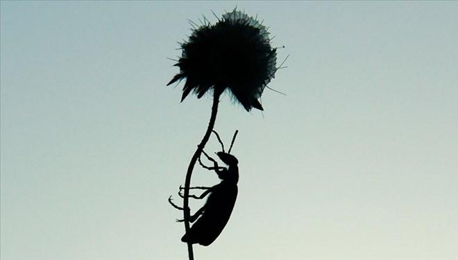 Yeni böcek türü keşfedildi! Aziz Sancar'ın adı verildi…