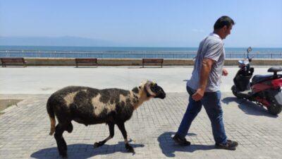 Bursa'da koyunların efendisi
