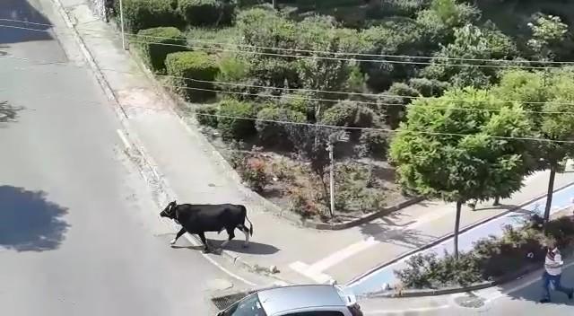 Yer: Bursa… Dana kaçtı, mahalleli kovaladı
