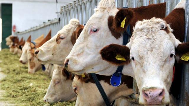 Sarhoş olan sığırlar çiftlik sahiplerinin foyası ortaya çıkardı