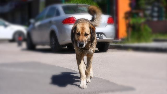Danıştay, köpek saldırısında valilik ve belediyeleri sorumlu tuttu