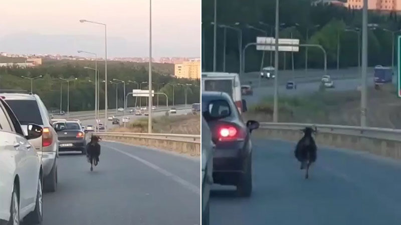 Bursa'da otobanda ilginç görüntü! Sürücüler zor anlar yaşadı