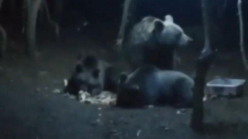 Uludağ'da ayı paniği! Kamp alanına girdiler…
