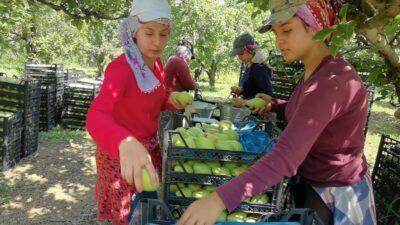 Bursa'da bu ürün çiftçinin yüzünü güldürdü!