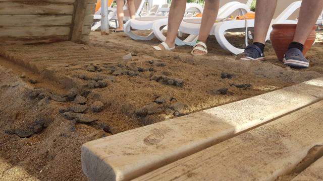 Caretta caretta yavrularının ölü bulunduğu otelle ilgili soruşturma