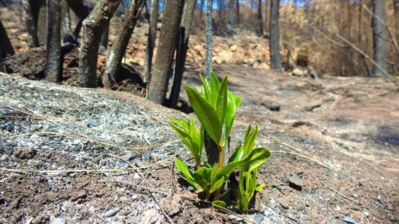 Marmaris'te yangınlar sonrası doğa canlanmaya başladı