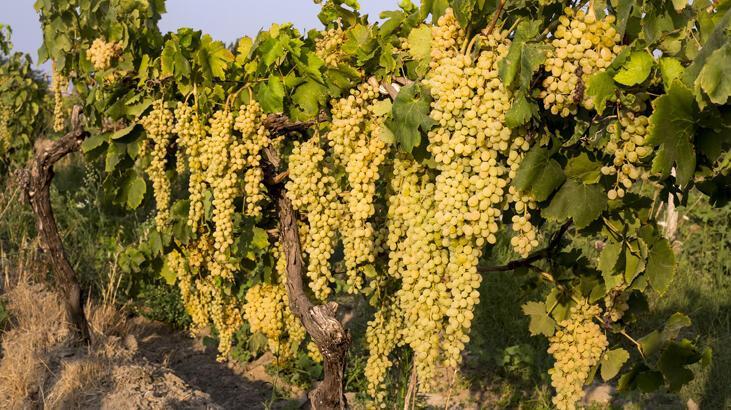 Türkiye'nin yaş üzüm ihracatı yüzde 22 arttı