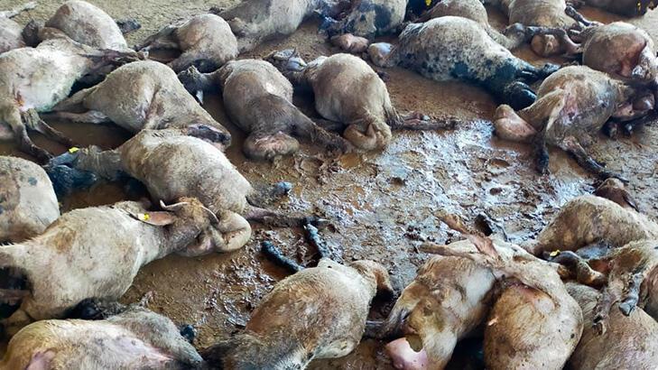 Hayvan pazarına giren sokak köpekleri 40 hayvanı telef etti!