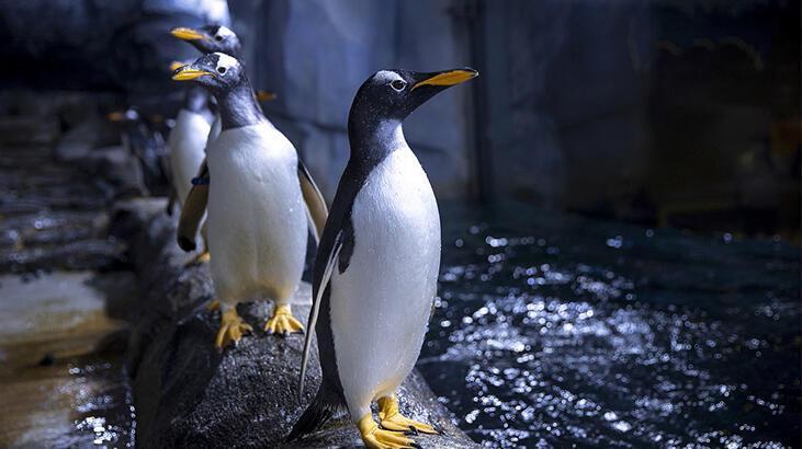 Arılar, nesli tükenmekte olan 63 pengueni telef etti