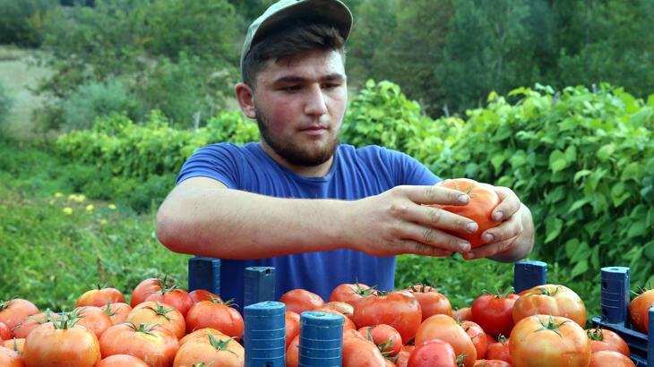 'Alsancak' cinsi domates fiyatıyla üreticisini sevindirdi
