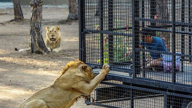 Tepki çeken görüntü! Telli kamyonetle 'aslan safarisi'