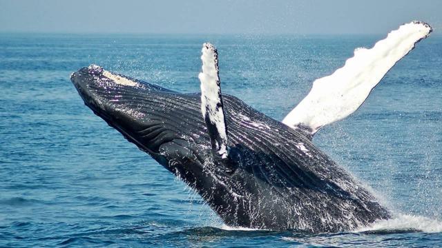 Norveç balina avından vazgeçmiyor