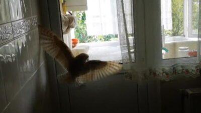 Bursa'da eve baykuş girdi! Korku dolu anlar…