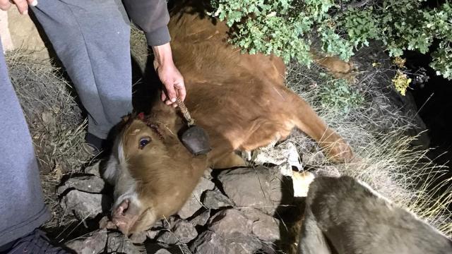Uçuruma düşen inek kurtarıldı