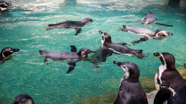 Koruma altındaki penguenler arı saldırısında öldü