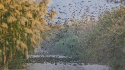 Bursa'da serçelerin muhteşem göçü böyle görüntülendi