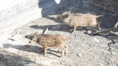 Bursa'da sulama havuzuna düşen domuzları belediye ekipleri böyle kurtardı
