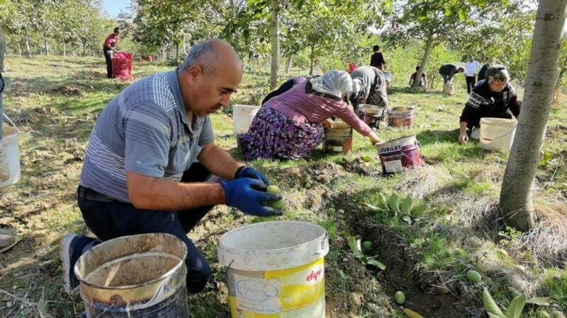 Bursa'da ceviz hasadı çiftçiyi sevindirdi
