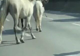 Başıboş atlar Bursa'da trafiği felç etti
