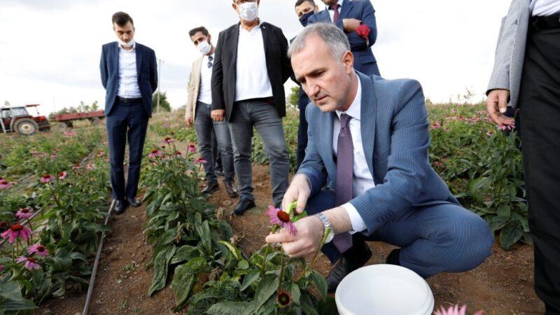 İnegöl'de ilk kez ekinezya hasadı yapıldı